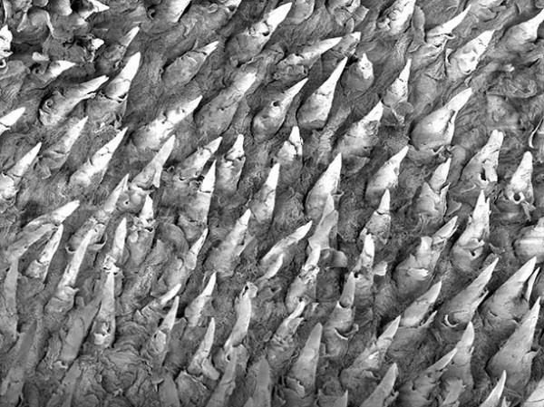 Micro: superfície da língua de uma rã-leopardo (por Paul Kelly)