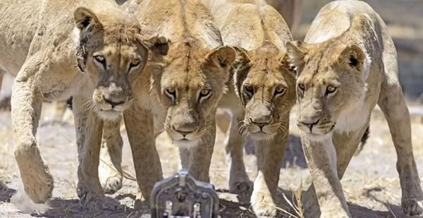 lion-photos-close-up-car-l-chris-mclennan-1