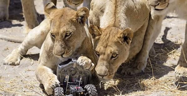 lion-photos-close-up-car-l-chris-mclennan-2