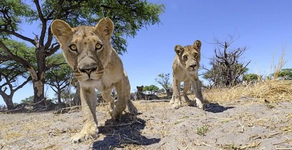 lion-photos-close-up-car-l-chris-mclennan-3