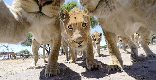 lion-photos-close-up-car-l-chris-mclennan-5