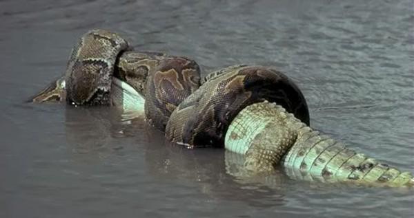 saltwater-crocodile-vs-green-anaconda