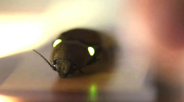 Pyrophorus noctilucus besouro de fogo cucujo