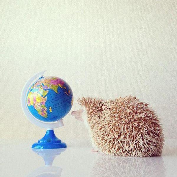 cute-hedgehog-darcy-darcytheflyinghedgehog-11