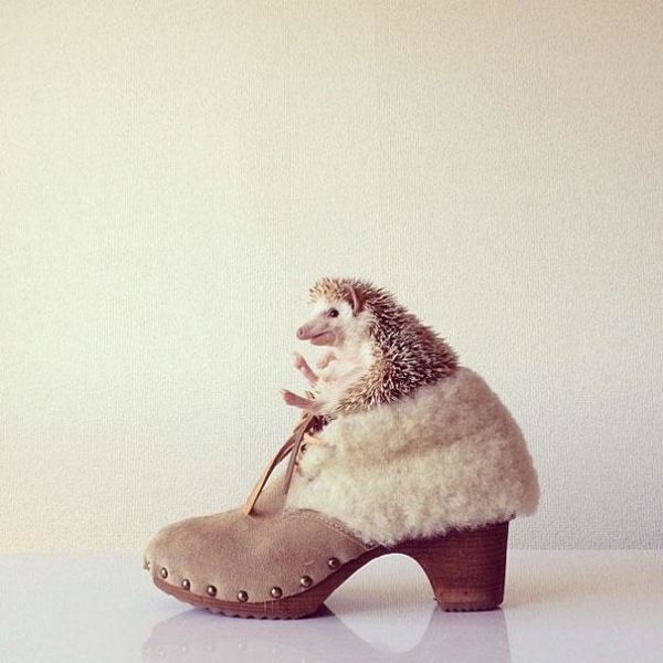 cute-hedgehog-darcy-darcytheflyinghedgehog-13