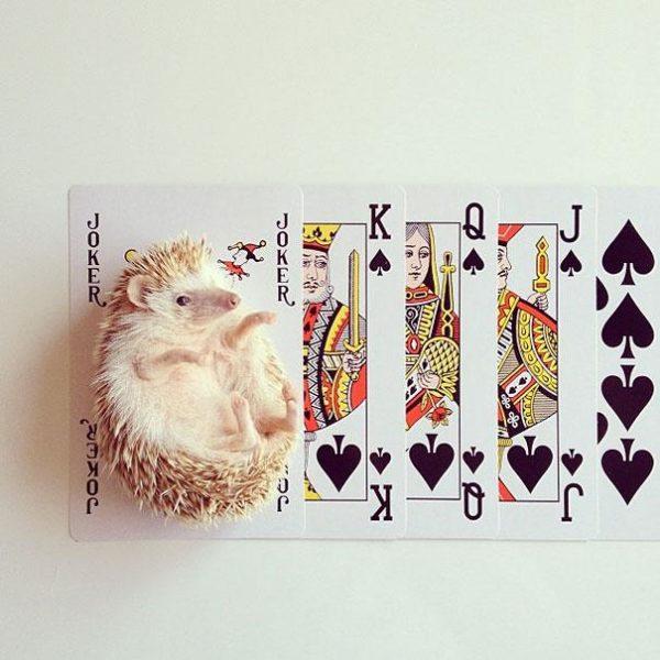 cute-hedgehog-darcy-darcytheflyinghedgehog-15