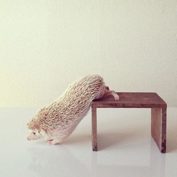 cute-hedgehog-darcy-darcytheflyinghedgehog-17