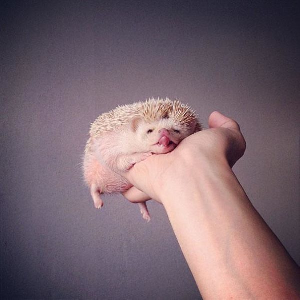 cute-hedgehog-darcy-darcytheflyinghedgehog-18