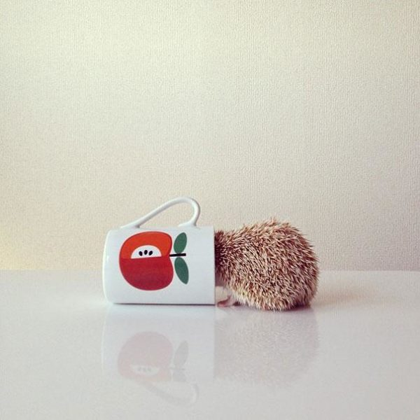 cute-hedgehog-darcy-darcytheflyinghedgehog-2