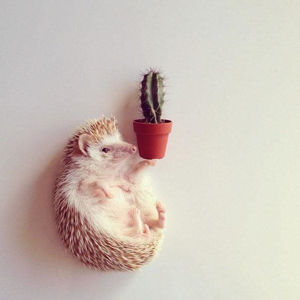 cute-hedgehog-darcy-darcytheflyinghedgehog-20