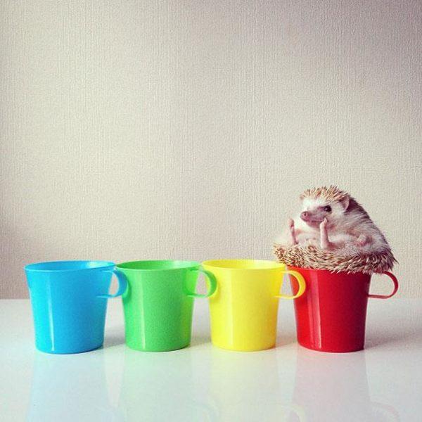 cute-hedgehog-darcy-darcytheflyinghedgehog-25
