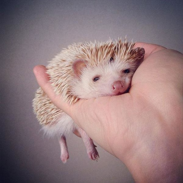 cute-hedgehog-darcy-darcytheflyinghedgehog-27