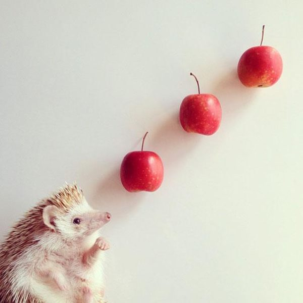 cute-hedgehog-darcy-darcytheflyinghedgehog-28