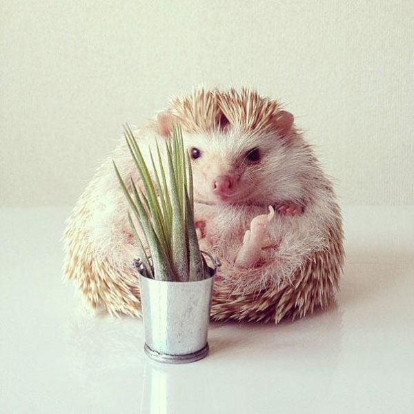 cute-hedgehog-darcy-darcytheflyinghedgehog-29