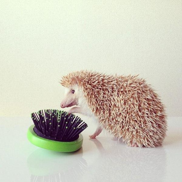 cute-hedgehog-darcy-darcytheflyinghedgehog-3