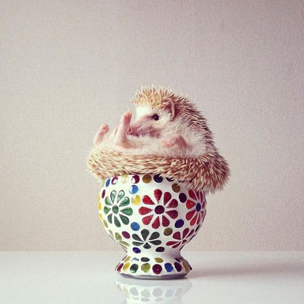 cute-hedgehog-darcy-darcytheflyinghedgehog-4