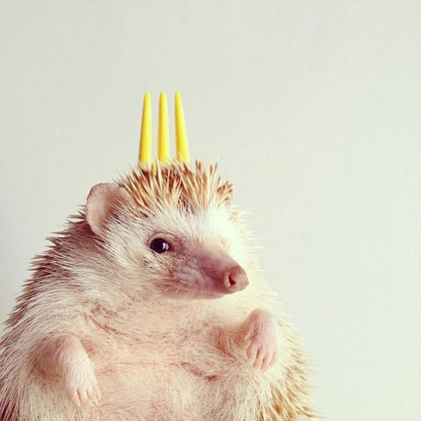 cute-hedgehog-darcy-darcytheflyinghedgehog-5