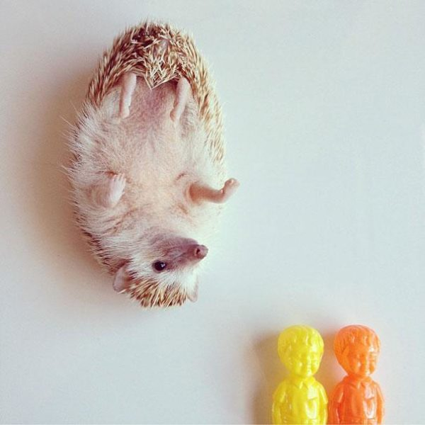 cute-hedgehog-darcy-darcytheflyinghedgehog-6