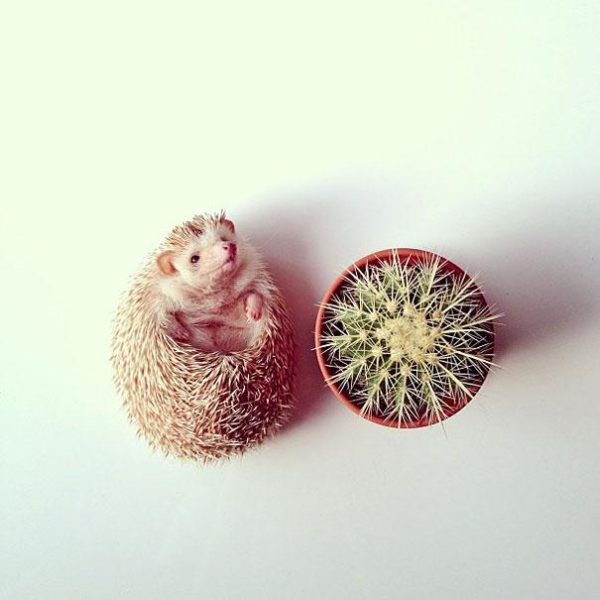 cute-hedgehog-darcy-darcytheflyinghedgehog-8
