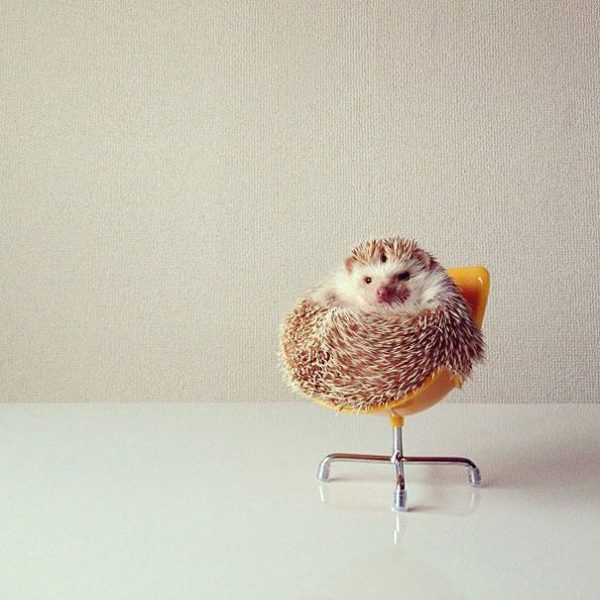 cute-hedgehog-darcy-darcytheflyinghedgehog-9