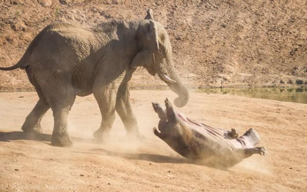 hippo-and-elephant-fight
