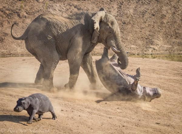 hippo-verse-elephant