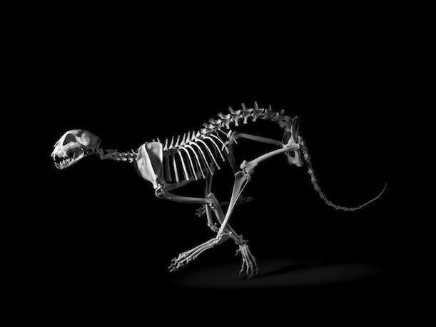 Esqueletos de animais