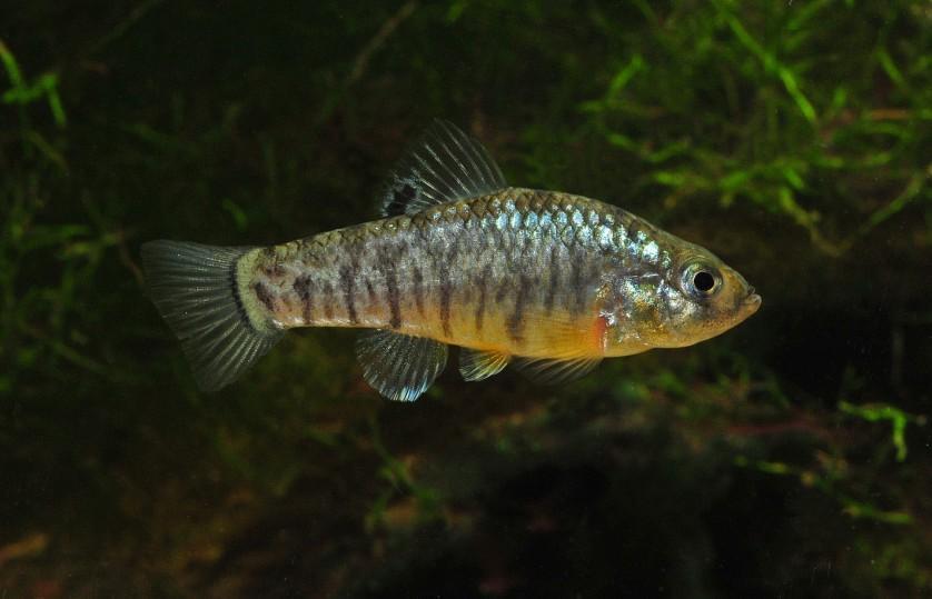 Imagem de um animal do mesmo gênero