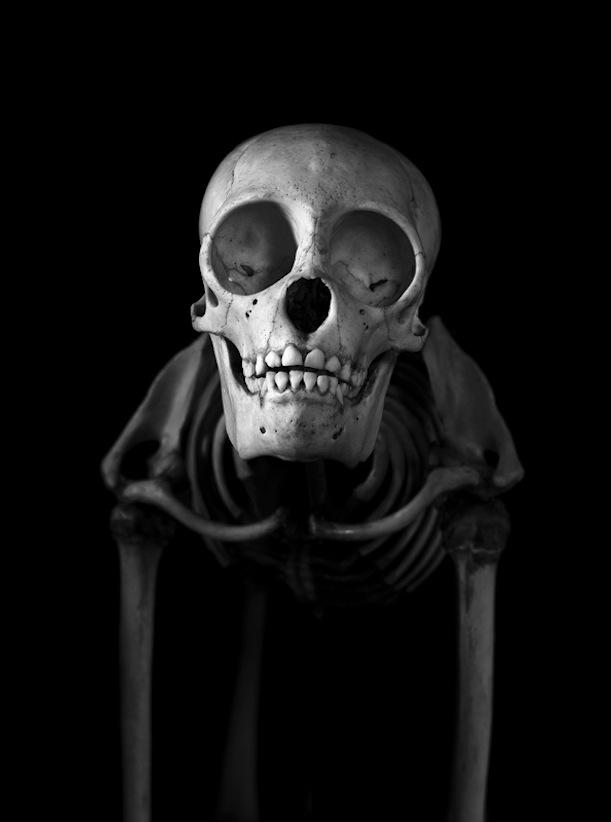 Macaco-barrigudo Esqueleto