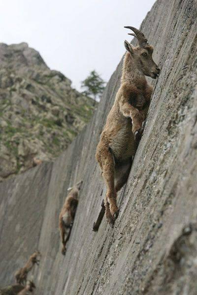 cabras montanhesas
