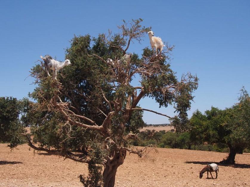 crazy-goats-on-cliffs-20