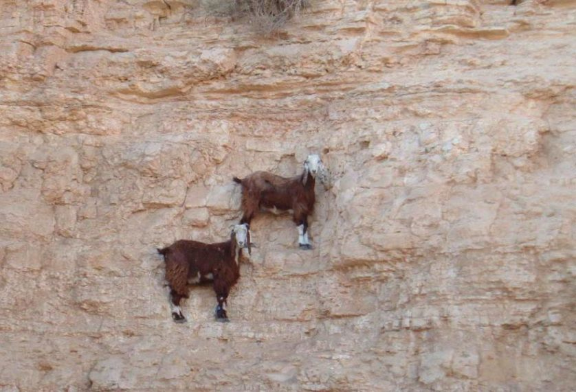 crazy-goats-on-cliffs-3