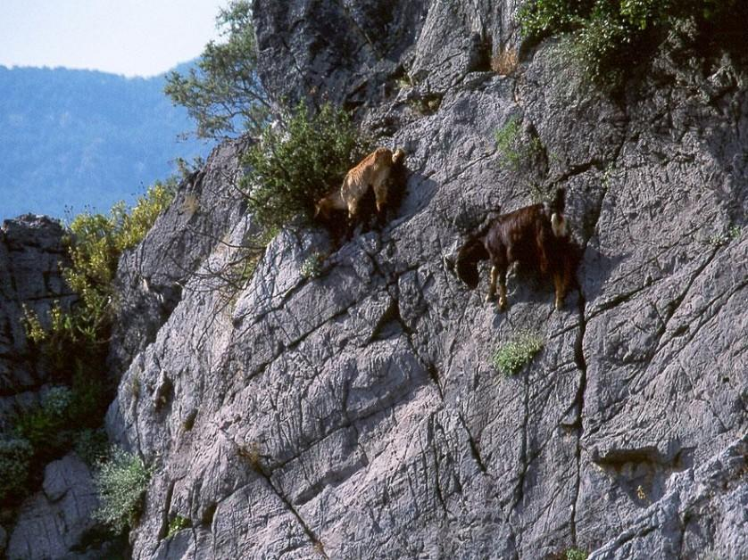 crazy-goats-on-cliffs-9