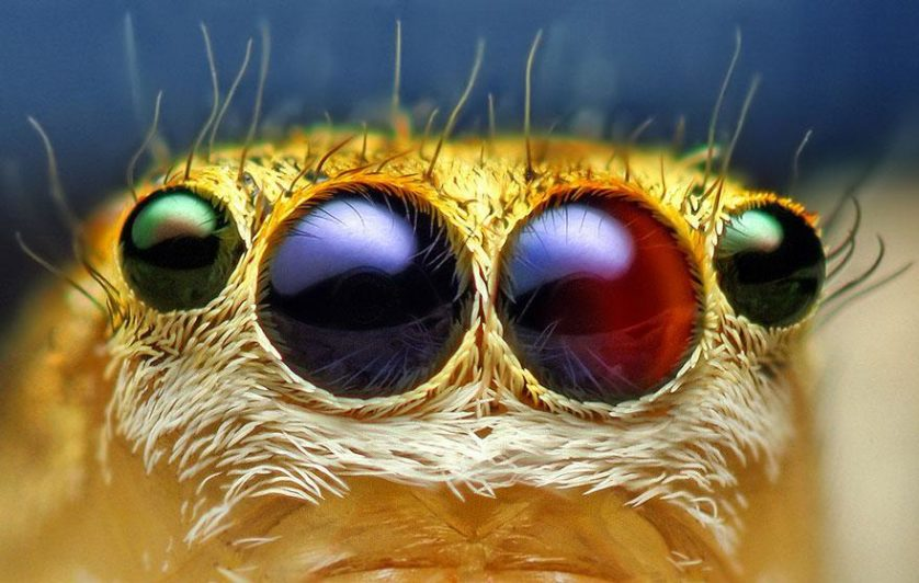 jumping-spiders-macro-photography-thomas-shahan-1