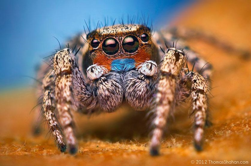jumping-spiders-macro-photography-thomas-shahan-16
