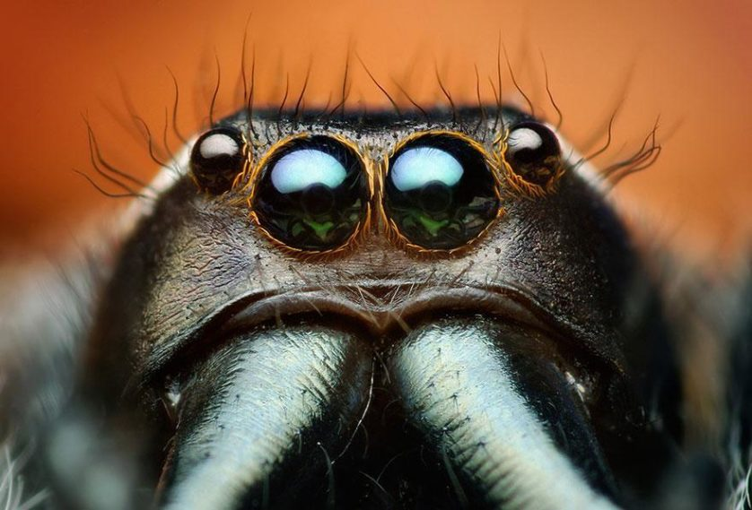 jumping-spiders-macro-photography-thomas-shahan-17