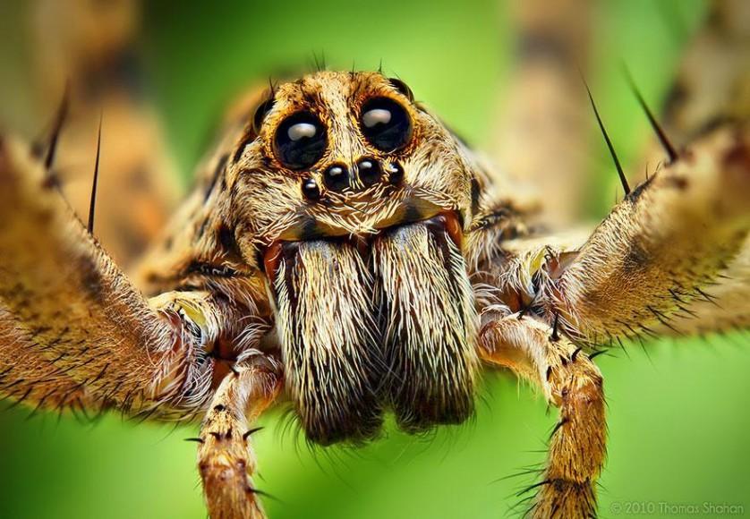 jumping-spiders-macro-photography-thomas-shahan-18