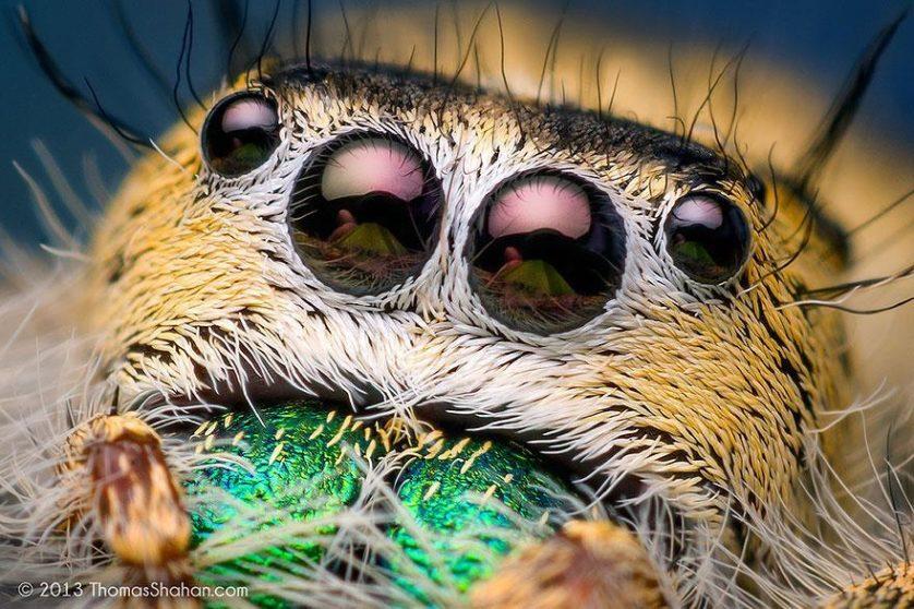 jumping-spiders-macro-photography-thomas-shahan-3
