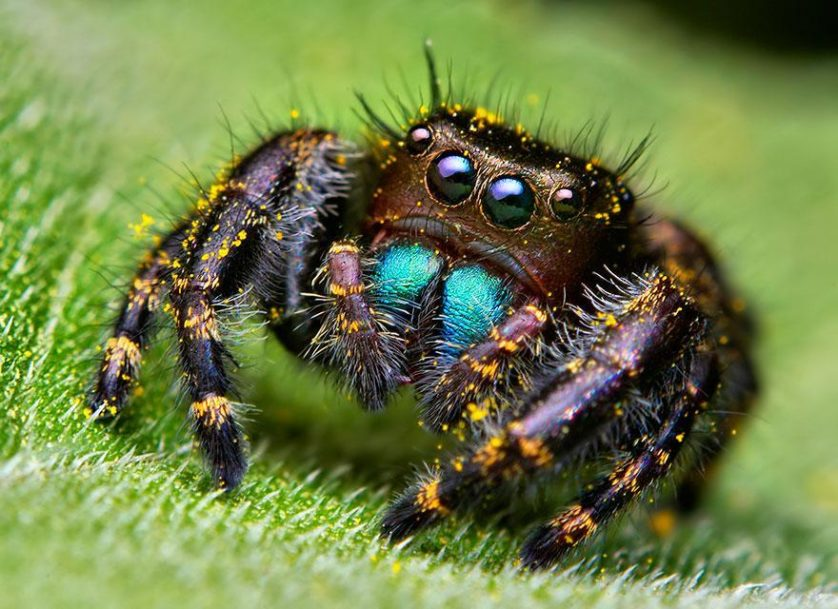 jumping-spiders-macro-photography-thomas-shahan-4