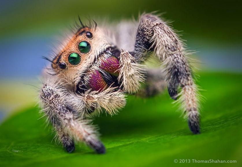 jumping-spiders-macro-photography-thomas-shahan-9
