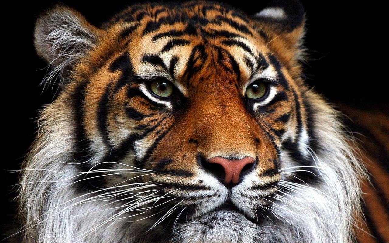 что бегайте, картинки для телефона тигры российском…