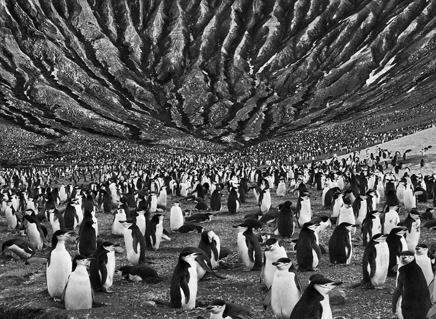 Colônia de pinguins-de-barbicha em um vulcão ativo nas Ilhas Sandwich do Sul (2009)