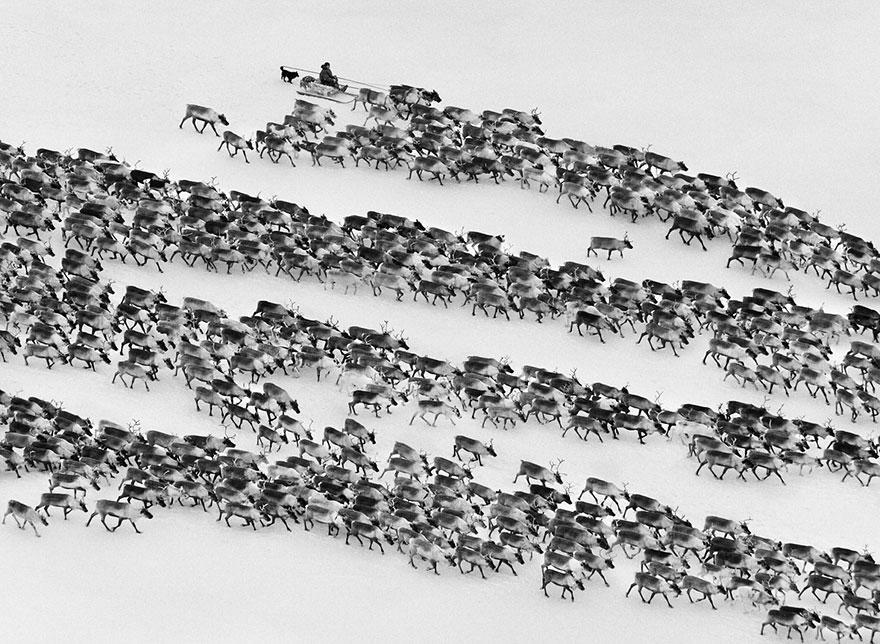 Povo Nenet conduzindo renas no Ártico siberiano, na Rússia (2011)