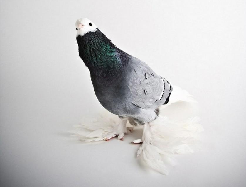 pombos darwin lindo 12