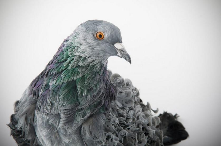 pombos darwin lindo 6