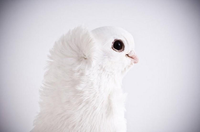 pombos darwin lindo 7