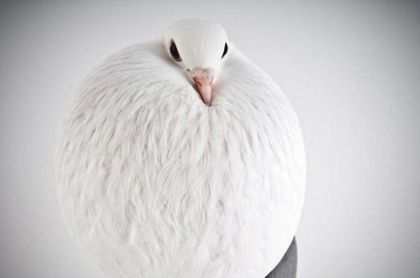pombos darwin lindo 9
