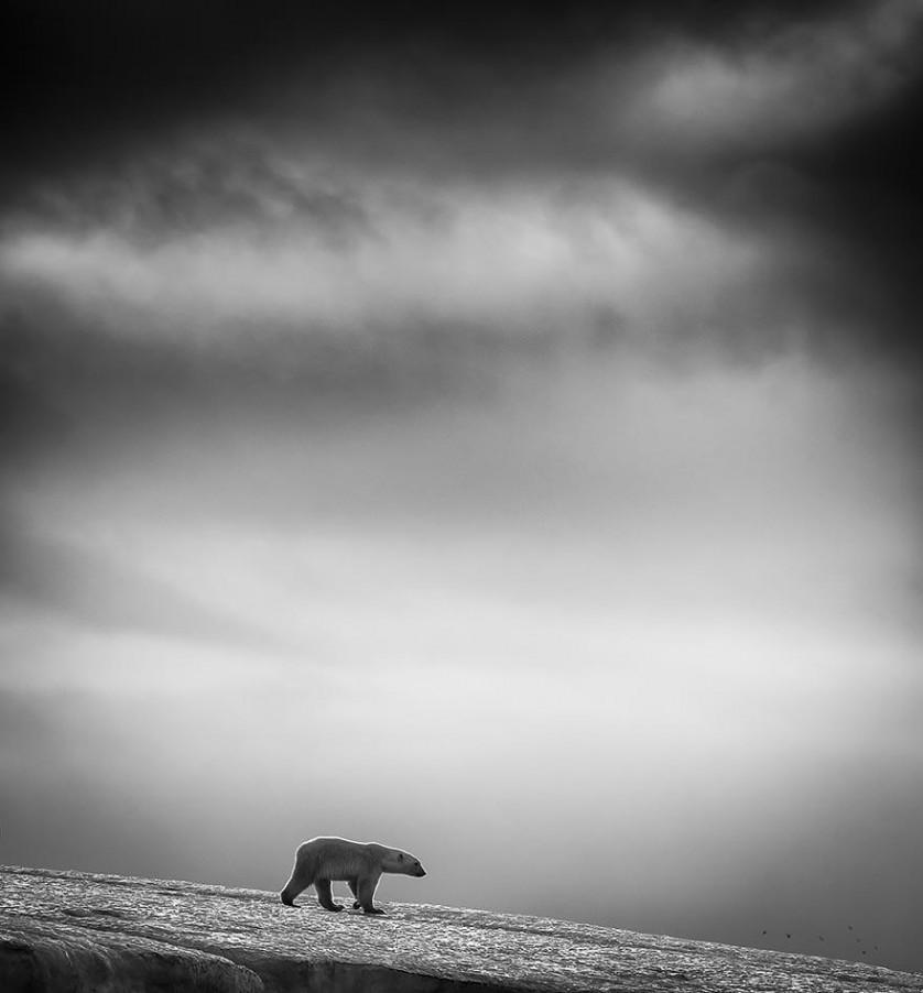 Urso polar em Svalbard, Noruega. De Wilfred Berthelsen.