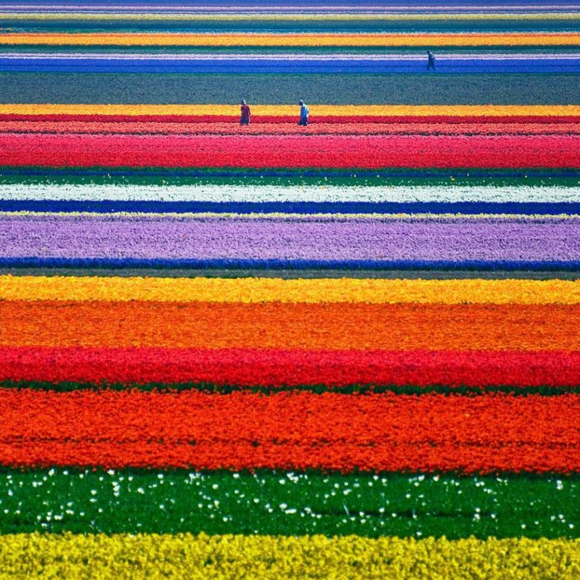 flower-tulip-fields-netherlands-1