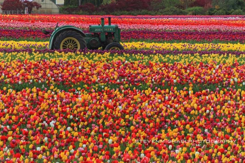 flower-tulip-fields-netherlands-10